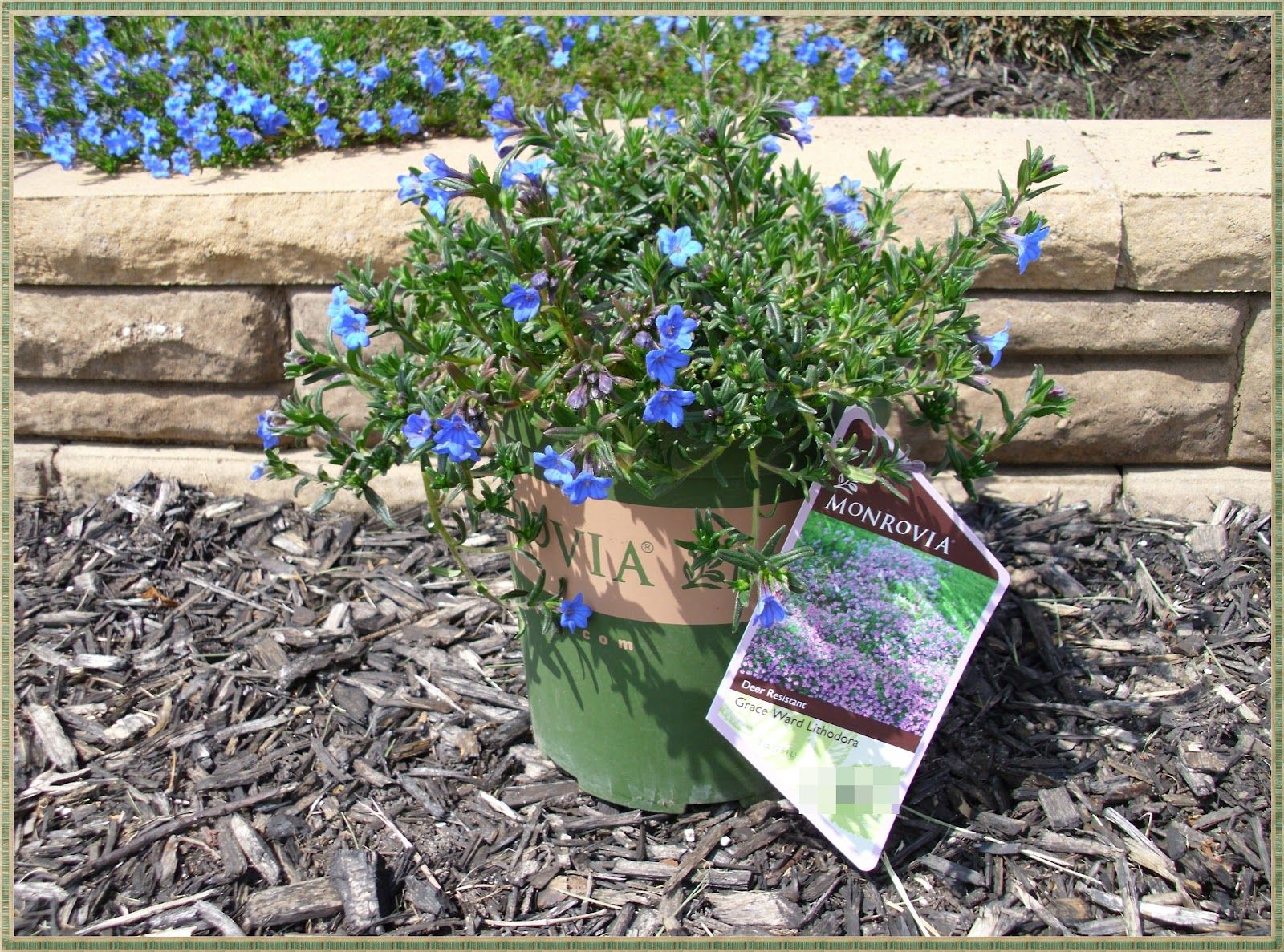 Lithodora evergreen perennial with electric blue flowers garden lithodora evergreen perennial with electric blue flowers izmirmasajfo