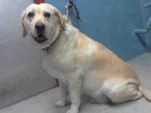 BOOMER ~  This sweet boy is hoping for someone special he can love & they will give him a furever loving home. A3308532 Impound Date: 6/23/2013  Male, LABRADOR RETR, 7 Months old  Location: Lancaster Cage No.L313  5210 L.A. County Animal Care Control: Lancaster, Lancaster, CA   661-940-4191