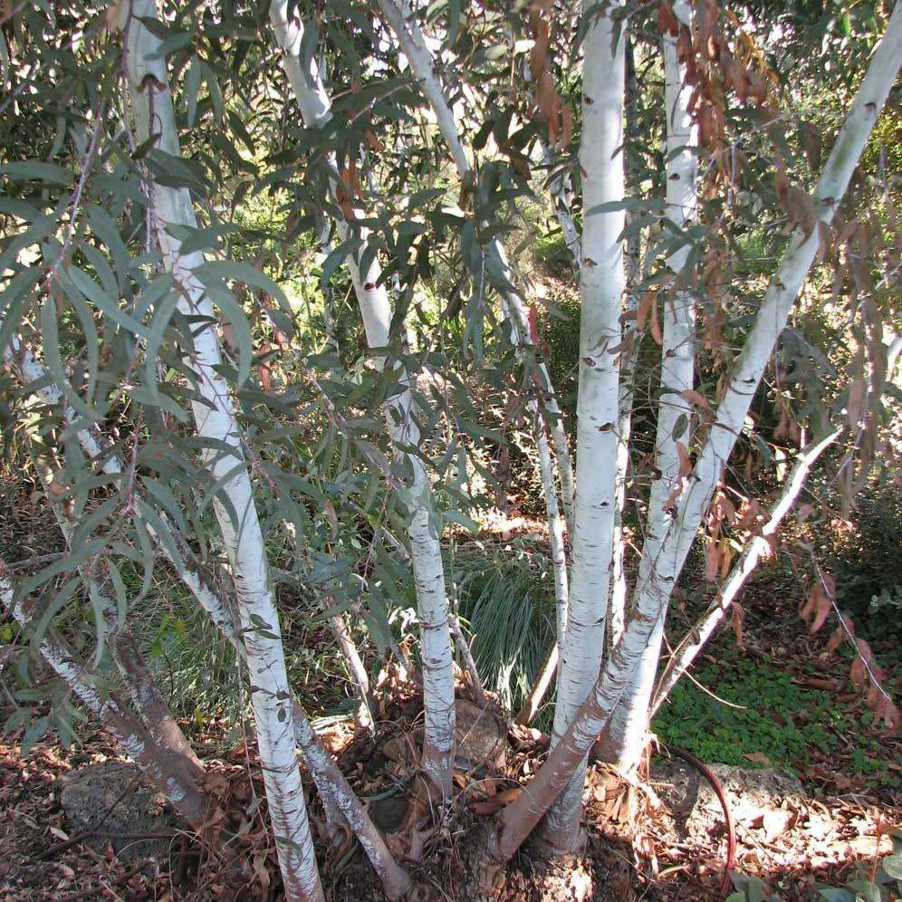 EUCALYPTUS saxatilis, Small tree or mallee to 5 metres