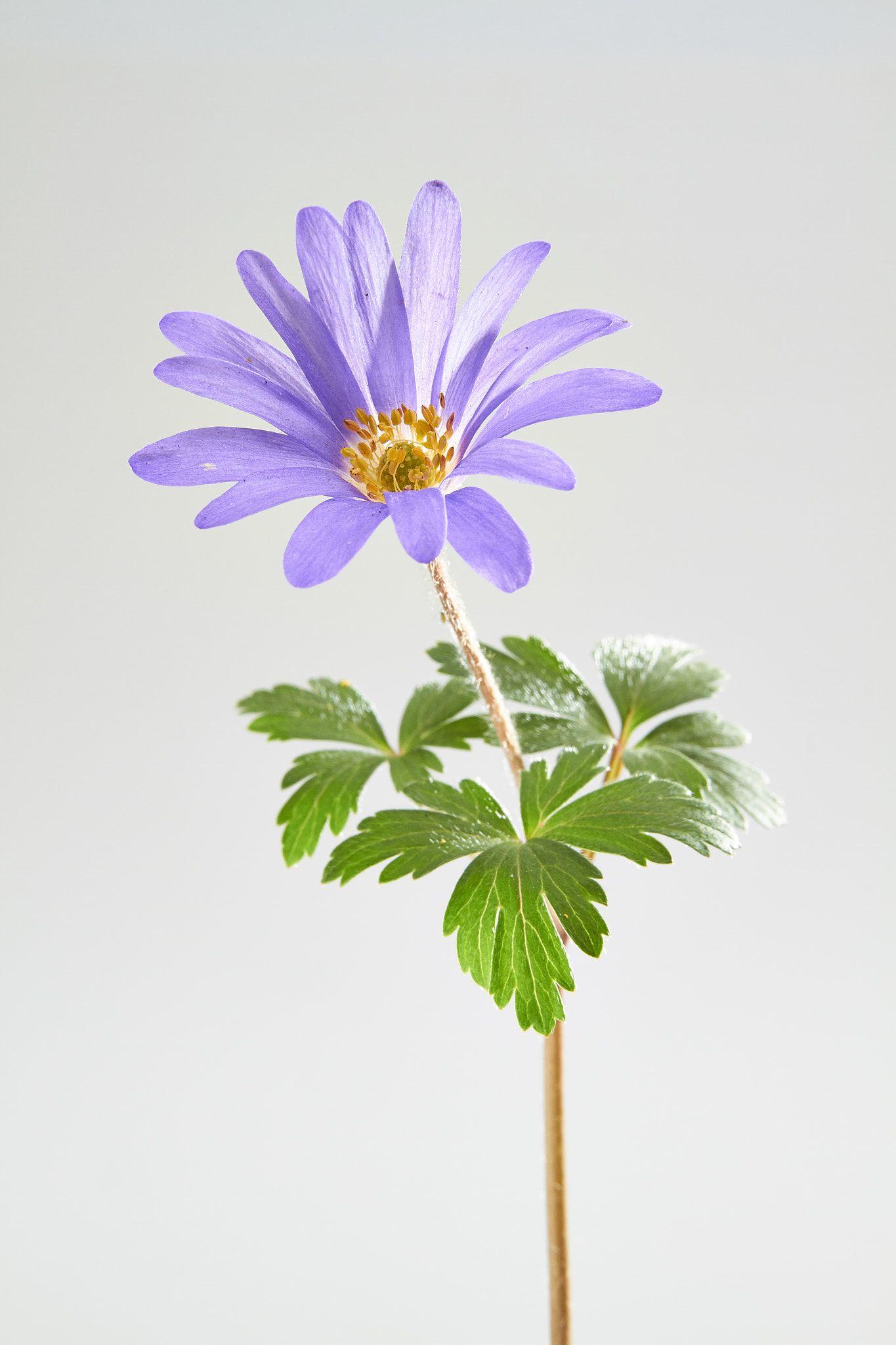 Anemone Blanda Springtime Flowers En 2020 Fundas