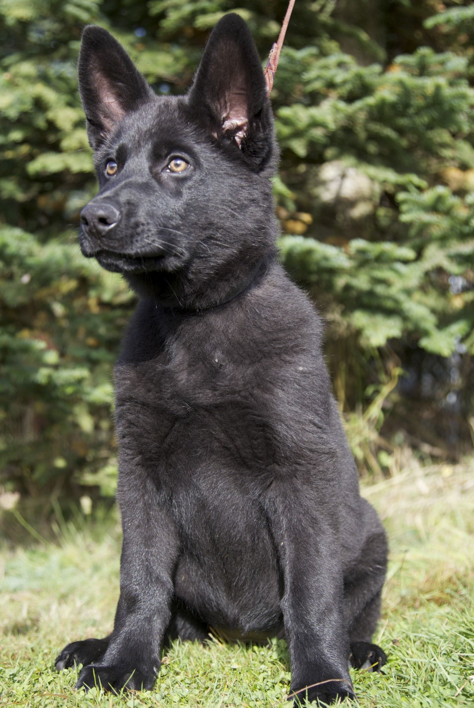 Very Large Jet Black With Broad Head And Great Expression Heavy Bone Stre German Shepherd Puppies Training Black German Shepherd Black German Shepherd Puppies