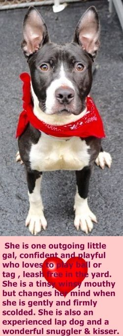 Manhattan Center AMANDA – A1072401 ***SAFER : EXPERIENCED HOME*** I am an unaltered female, black and white American Pit Bull Terrier mix. The shelter staff think I am about 1 year old. I weigh 46 pounds. I was found in NY 10455. I have been at the shelter since May 03, 2016. http://nycdogs.urgentpodr.org/2016/05/amanda-a1072401/