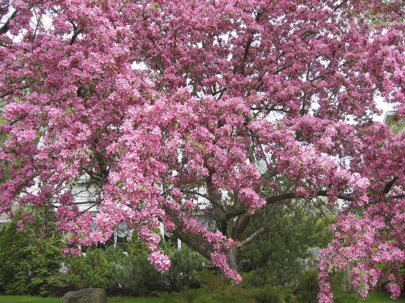 Crabapple Tree Identification Backyard Ideas Flowering Crabapple
