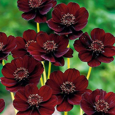 Rare Chocolate Cosmos Flower Seeds Blooms All Summer Long Beautiful Flower Cosmos Flowers Chocolate Cosmos Flower Chocolate Cosmos