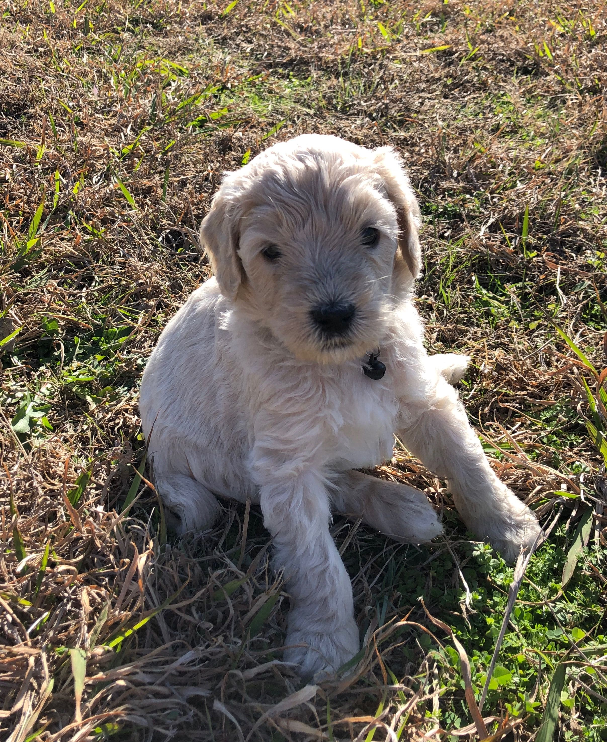 Bambi is an f1b cream goldendoodle his mom is our family