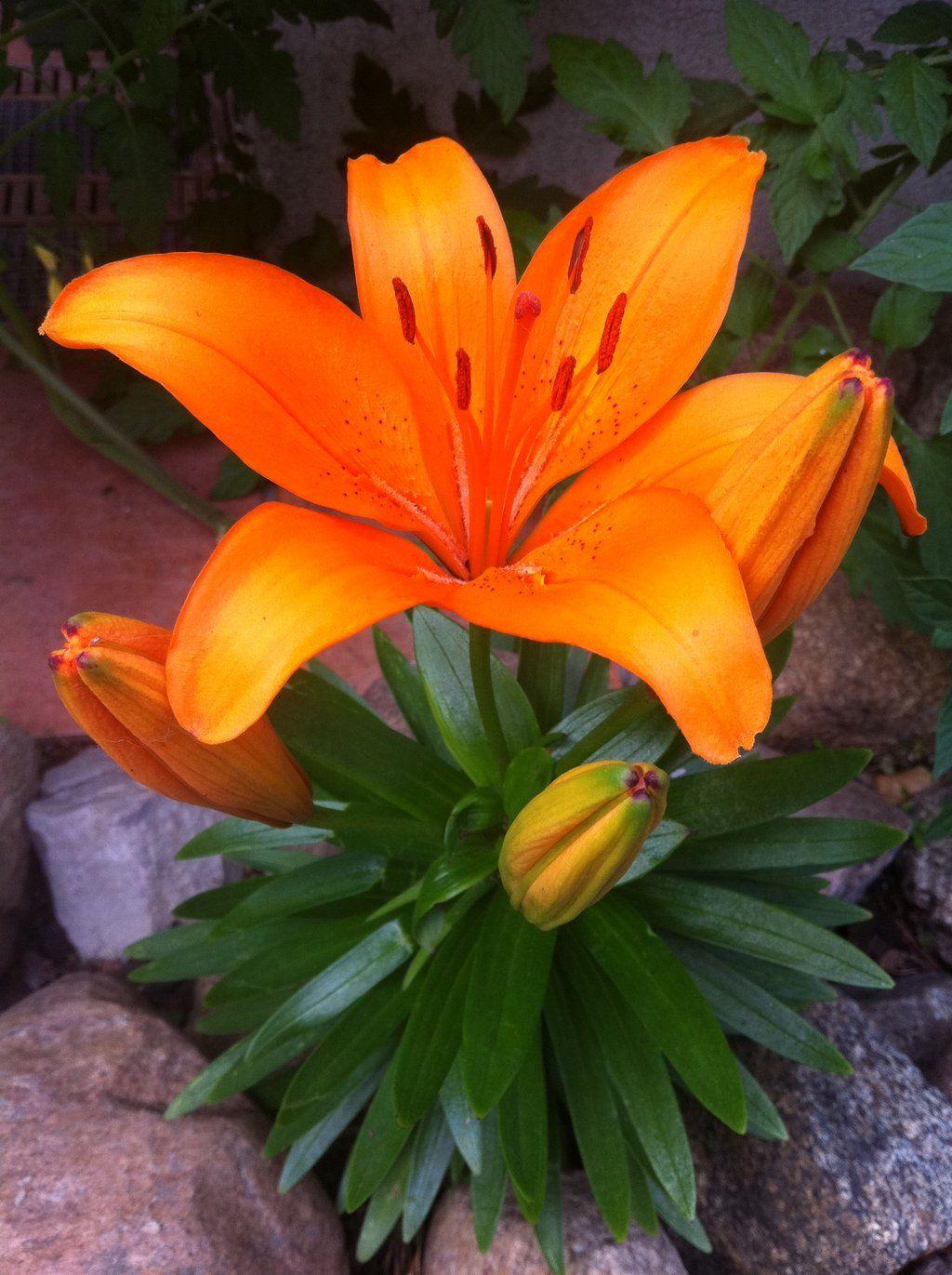 Pin By Gramescu On Flowers Lily Pinterest Hd Desktop Orange