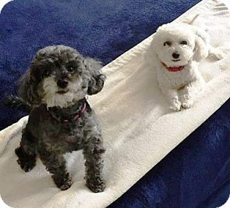Pin By Andrea Hill On Dogs Looking For A Human To Love Bichon