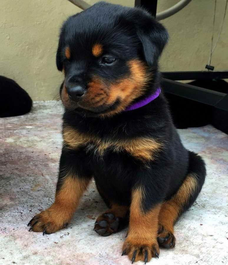 Myths About Dog Ear Cropping Doberman Puppy Rottweiler Puppies Puppies
