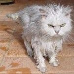 wet angry cat picture