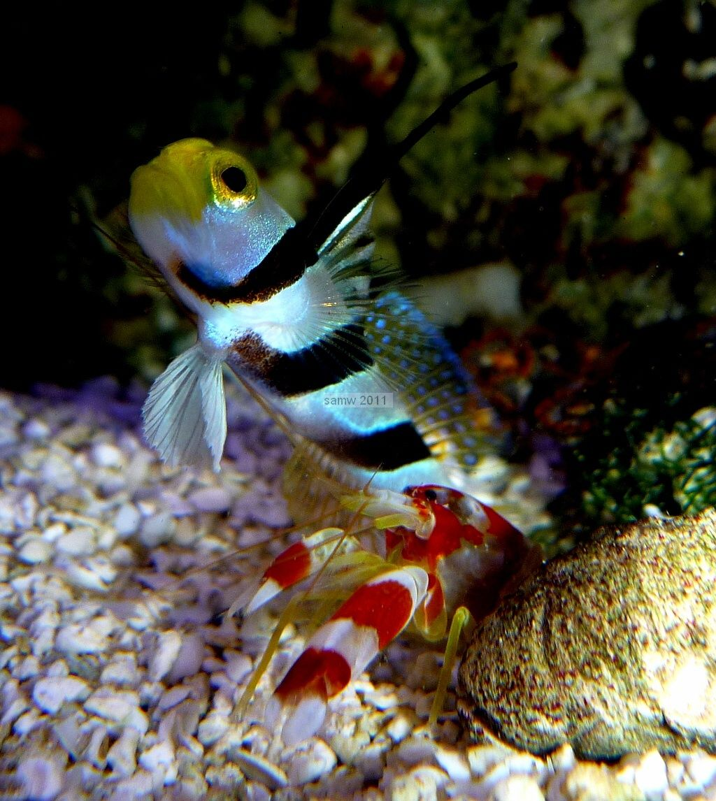 goby fish saltwater goby and pistol shrimp pair reef central