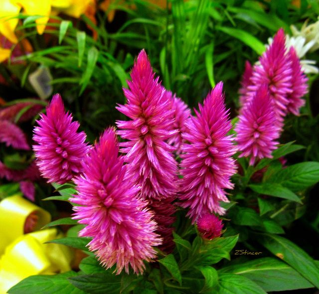 Celosia Cockcomb Flowers Flowers Plants Photo Sharing