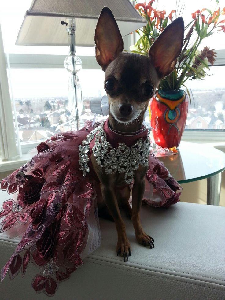 Related Image Cute Chihuahua Chihuahua