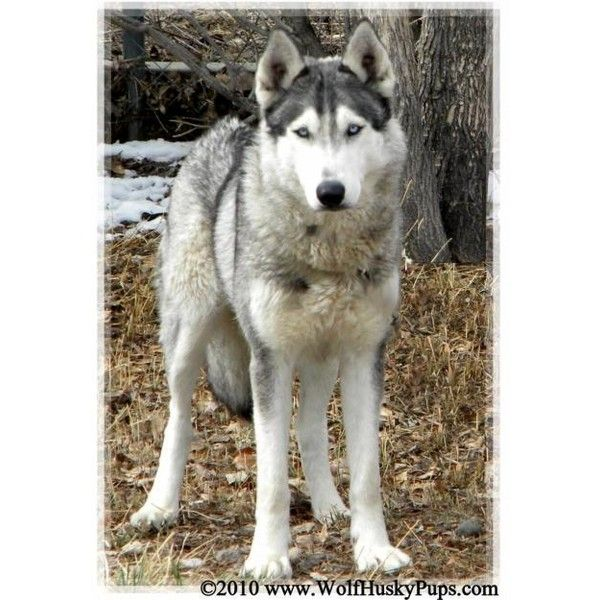 Amazing And Beautiful Wolf Hybrid Pups For Sale Liked On