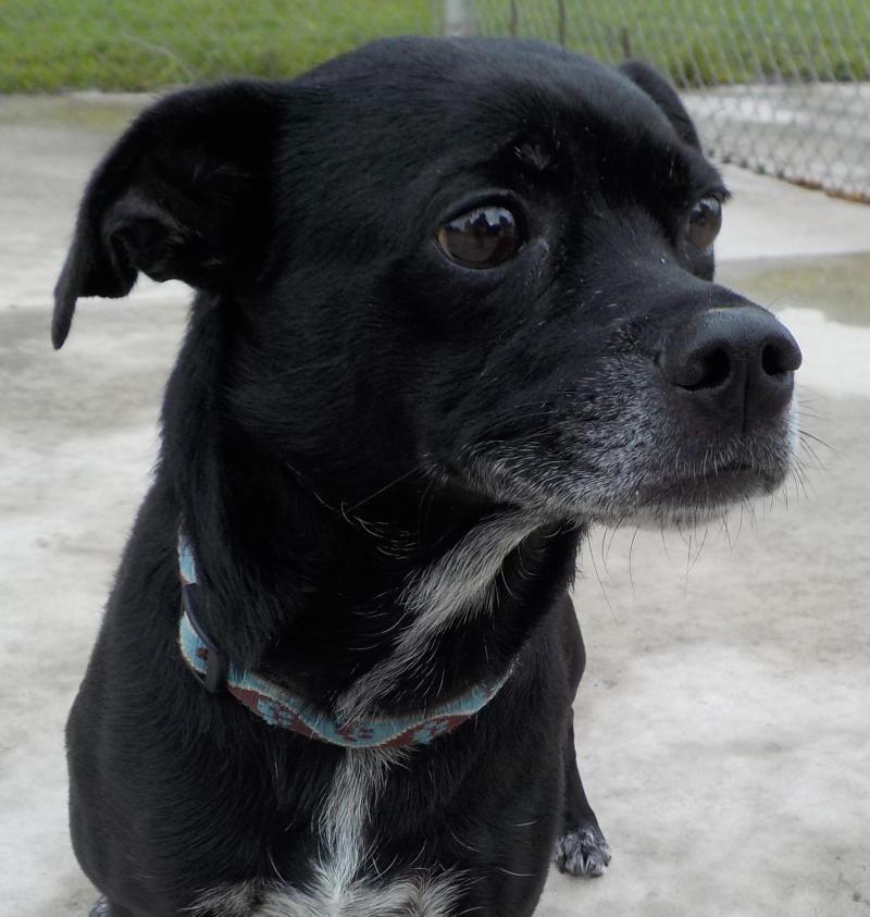Adopt 37 lillyadopted on pug mix labrador retriever