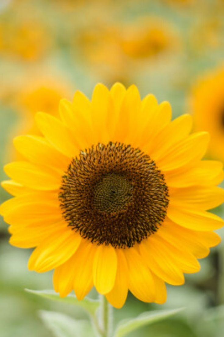 12 Sunflower Lecithin Benefits And How To Include It In ...