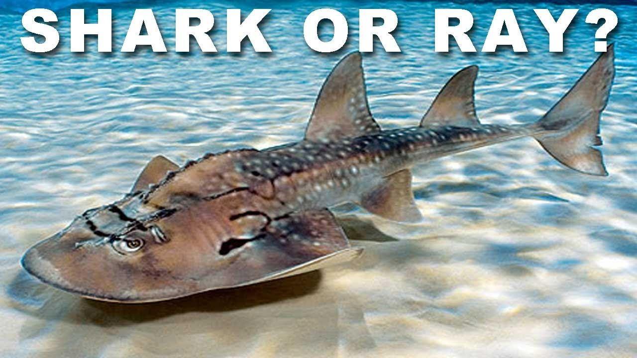 ca851d82cef9 GIANT SHARK RAYS!