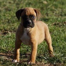 Boxer Breeders In Massachusetts Healthy Boxer Puppies For Sale