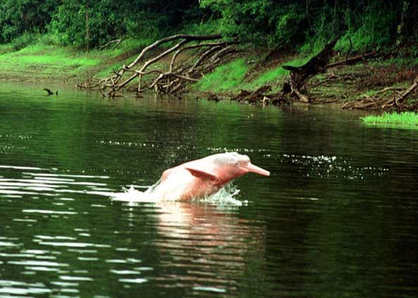 The Dolphin Color Pink is a typical animal in the Amazon that delights us with her beauty.