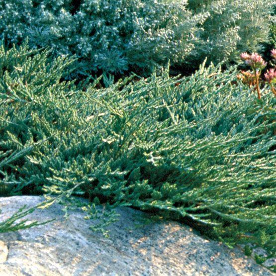 Blue Rug Juniper Shrubs Plants Garden Shrubs