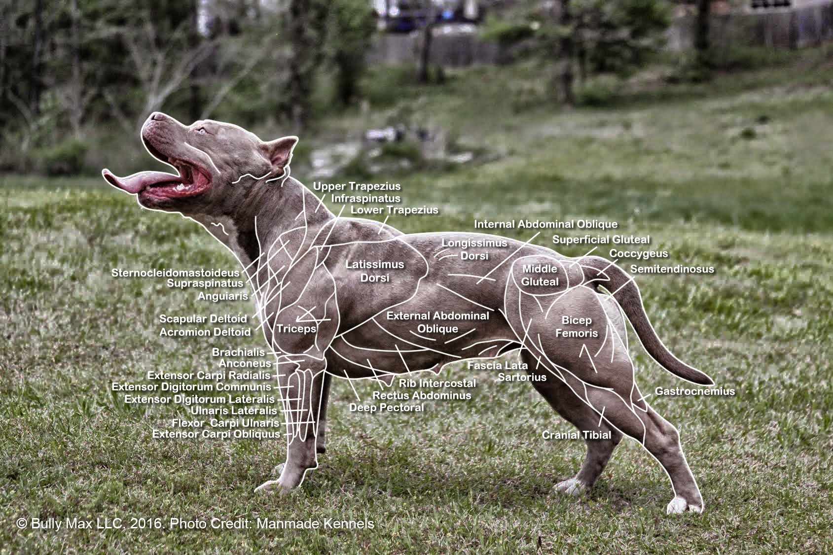 The Muscle Anatomy Of Dogs