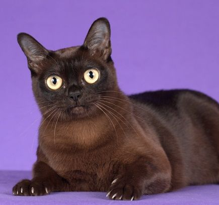 Beautiful Eyes Burmese Cat Cat Breeds Cats And Kittens