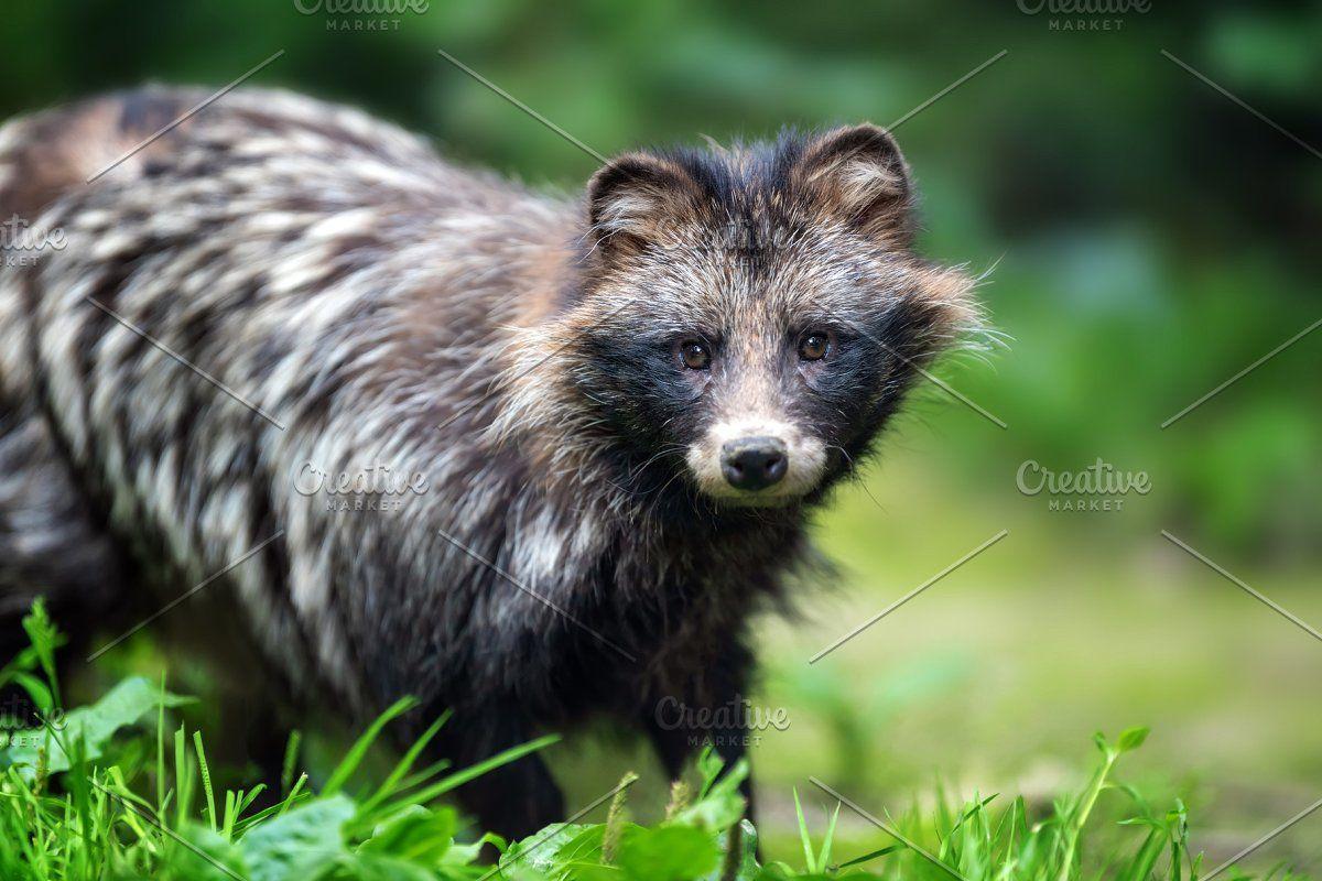 Raccoon In 2020 Animals Wild Raccoon Animals