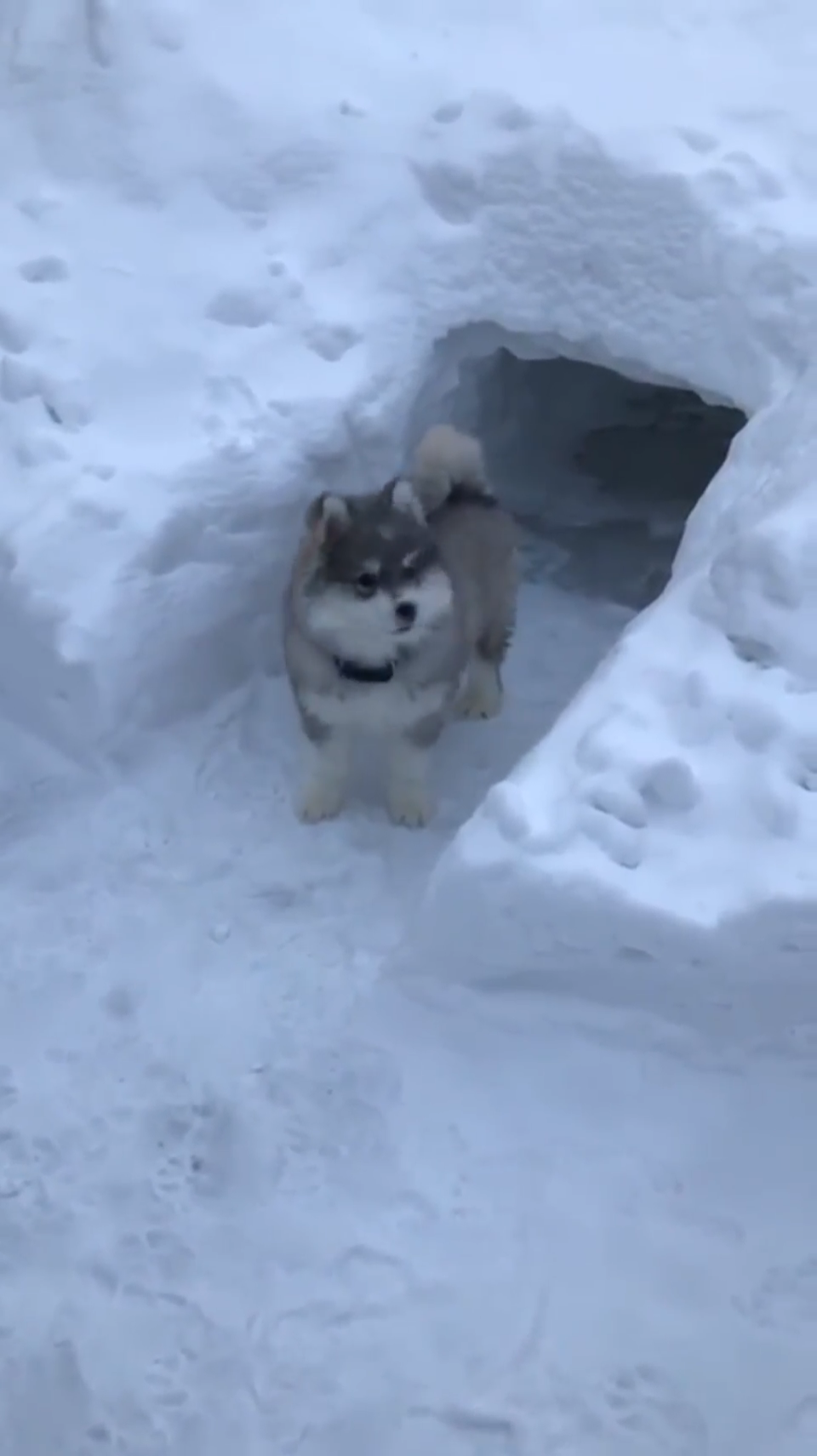 Little husky checking out his new snow cave