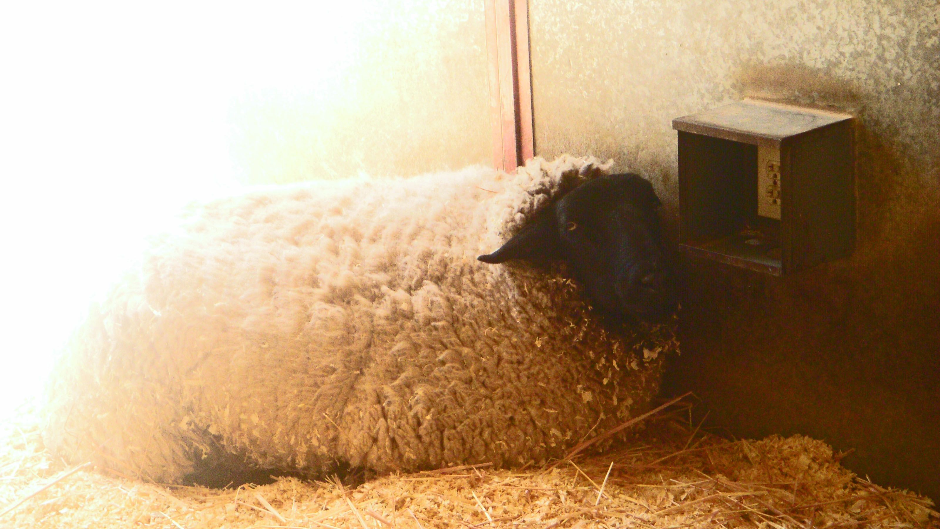 Black Sheep with White Wool