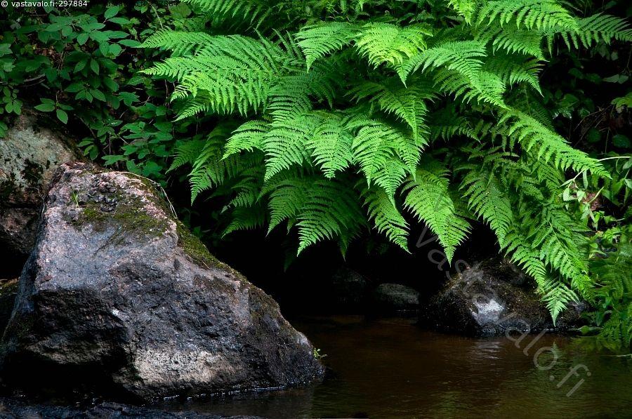 Saniaisranta - joki ranta alvejuuri kivikkoalvejuuri Dryopteris filix-mas…
