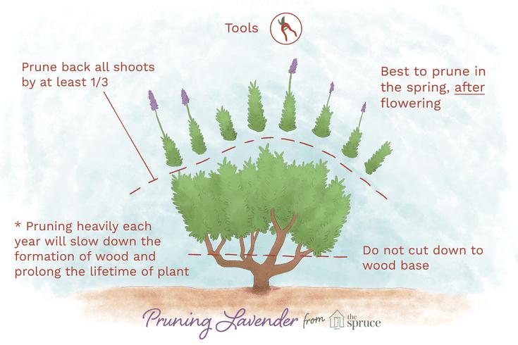 How To Prune Lavender Plants Lavender Plant Lavender Plant Care Growing Lavender