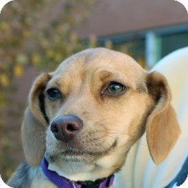 California Judy Haynes Is A Beagle Dachshund Blend Puppy Needing