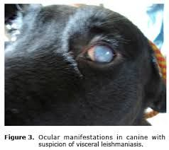 Image Result For Leishmania And Kidney Health In Dogs Kidney Health Dog Food Recipes Dogs