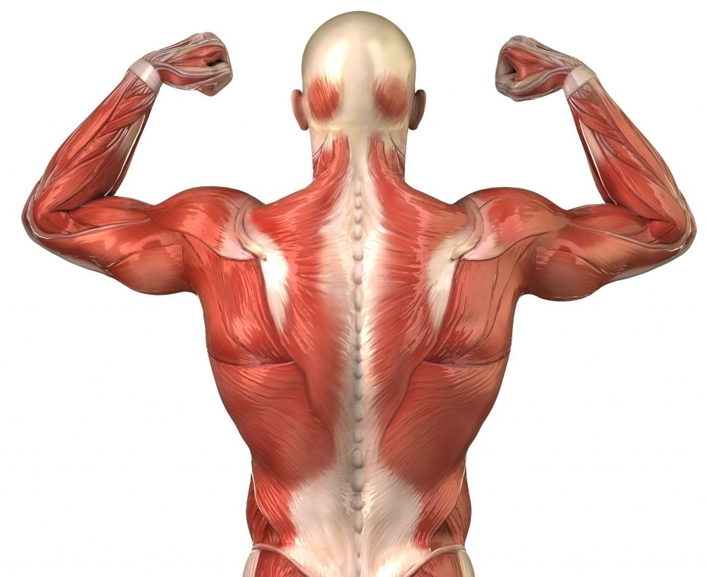 Мышцы спины, картинки по анатомии (27 фото) | Упражнения ...