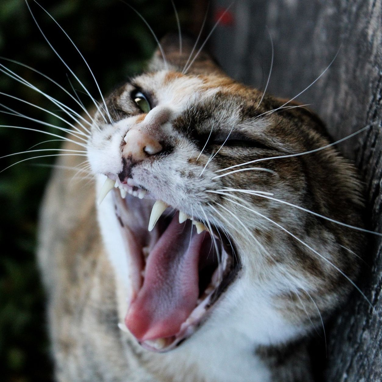 Yaaaaawn Cat Yawning Catyawn Cat Yawning Cute Cats And Kittens Cats