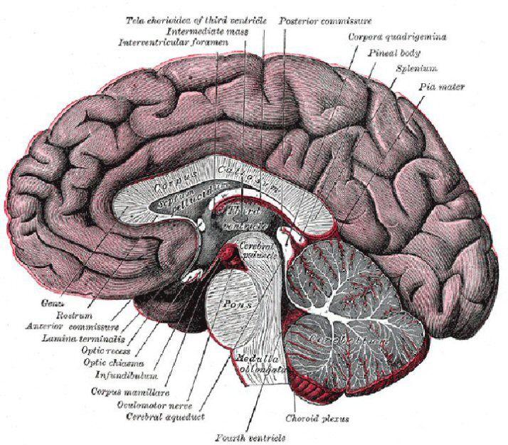 brain diagram labeled 124 Brain Diagram Labeled | Words ...