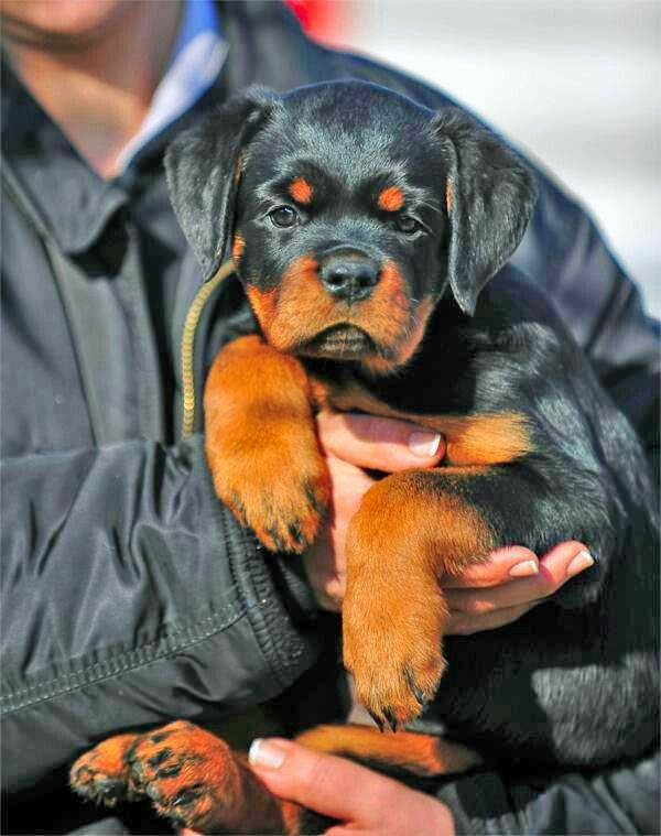 Precious Baby Bully Breeds Dogs Rottweiler Dog Rottweiler Puppies