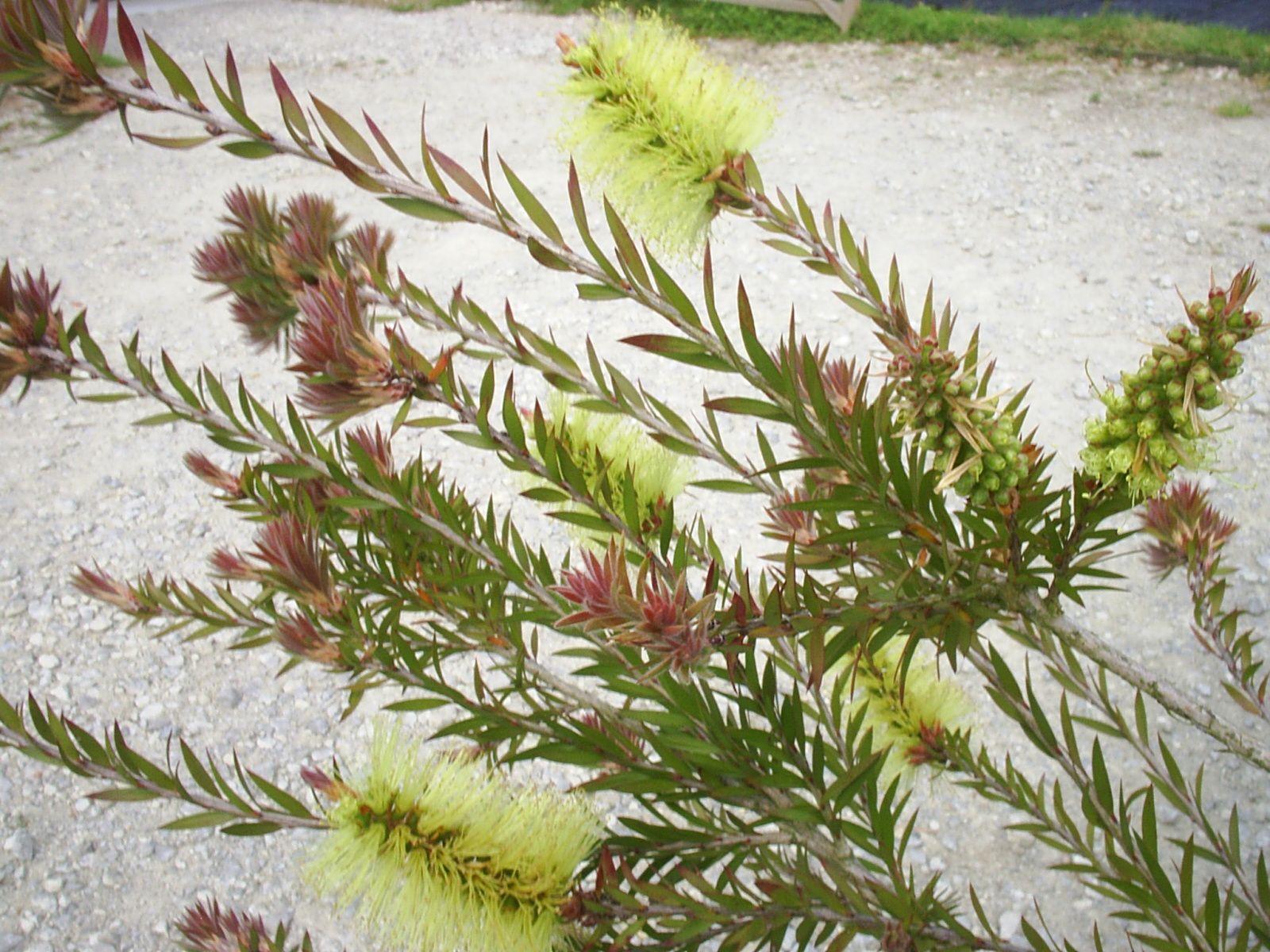 callistemon viridiflorus zn7b  5 u00ba to 10 u00baf  myrtaceae in tasmania where it is native it follows