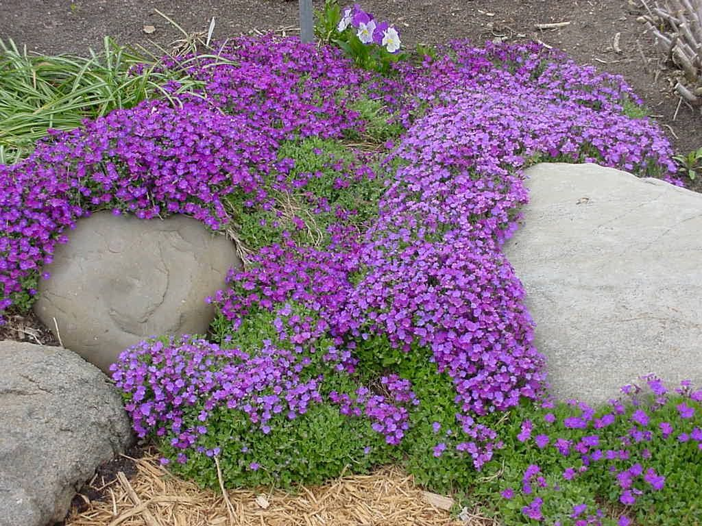 Aubieta A Lovely Purple Ground Cover That Sends The