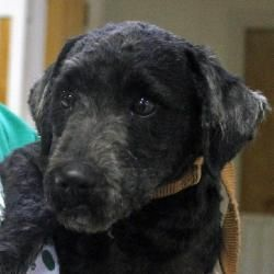 Georgio: Poodle/Schnauzer up for adoption