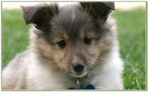 Adopt Kenzie On Sheltie Dogs Sheltie Collie Breeds