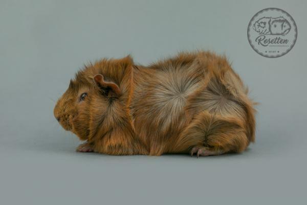 Rosette Slate Gold Argente Meerschweinchen Rassen Zuchten