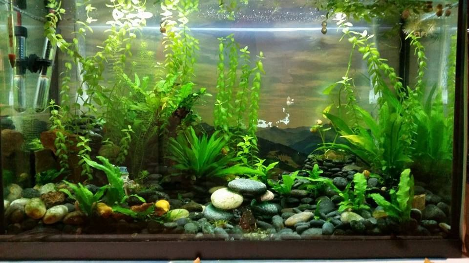 Sunny betta 29 gallon grow out tank mountain theme for 29 gallon fish tank