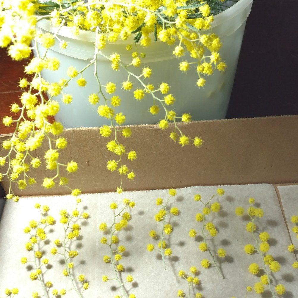 How to scrapbook dried flowers - Spring Has Arrived And With It A New Batch Of Dried Pressed Mimosa Flowers Check
