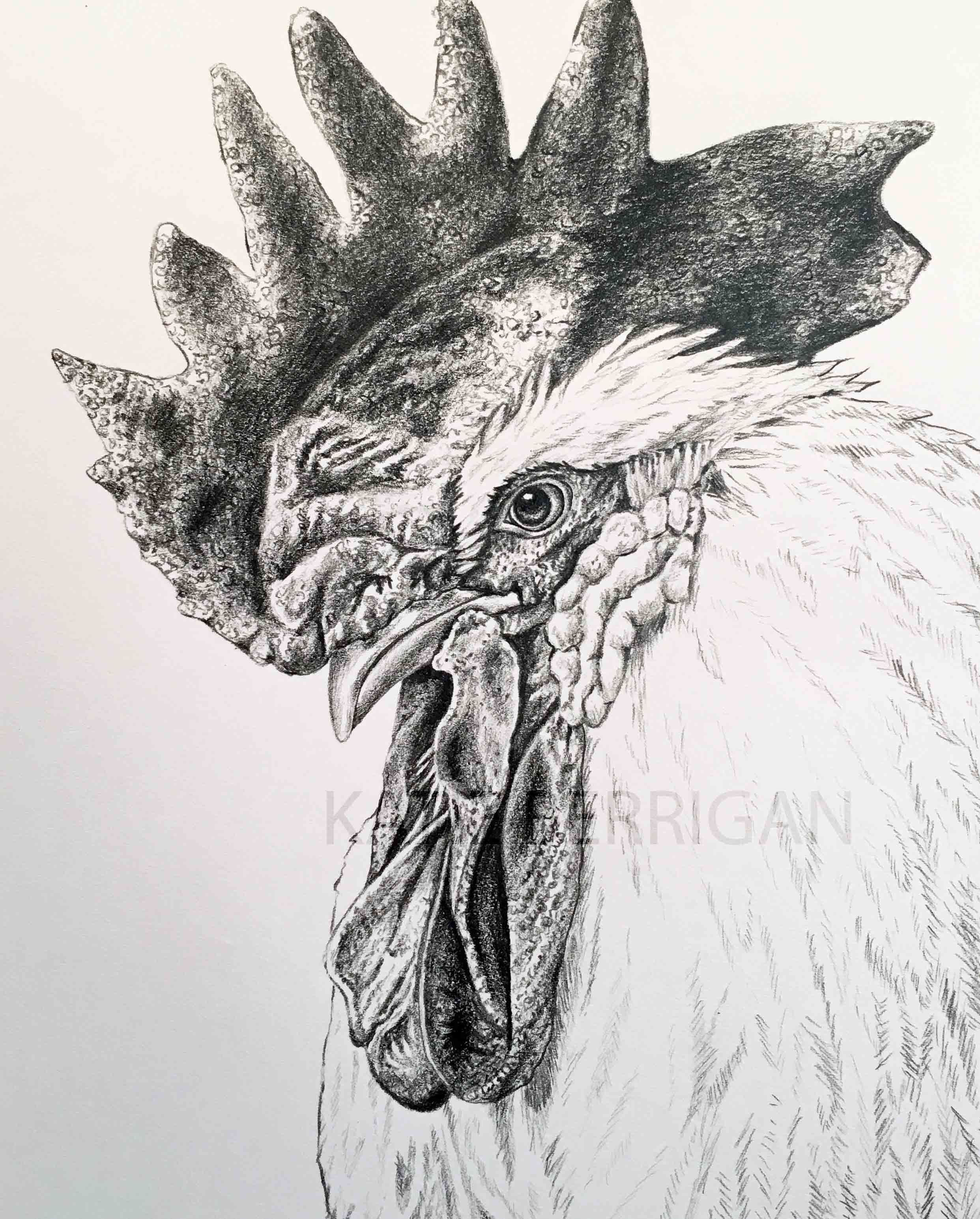 Rooster graphite pencil drawing bird drawing www kberriganart com
