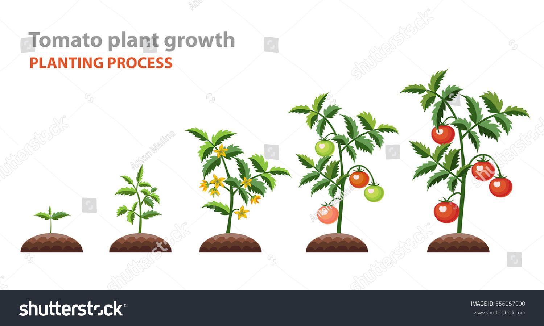 Tomato Plant Growth Planting Process Vector Illustration
