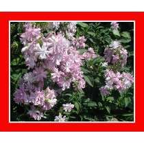 Saponaria Officinalis Planta Sabão Flor Sementes Para Mudas