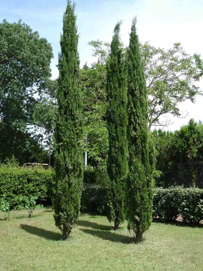 arbres croissance rapide pour les jardiniers impatients croissance cypr s et rapide. Black Bedroom Furniture Sets. Home Design Ideas