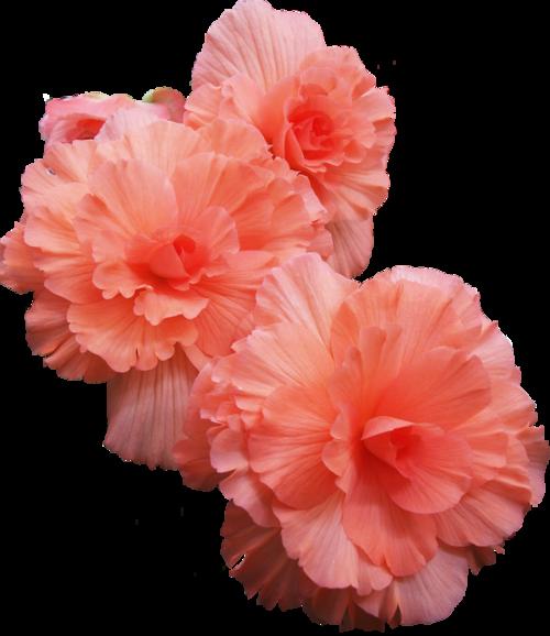 flower tumblr transparent - photo #13