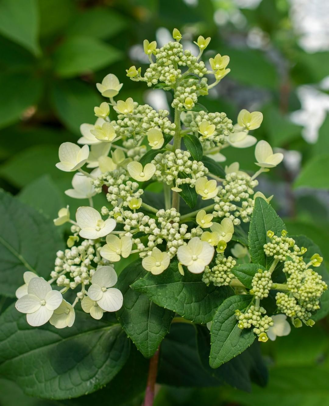 Say Hello To Fire And Ice Hydrangea This Beauty Has Three Seasons Of Color On One Plant It Blooms Cream During The Spring Pink Mid Plants Bloom Fire And Ice