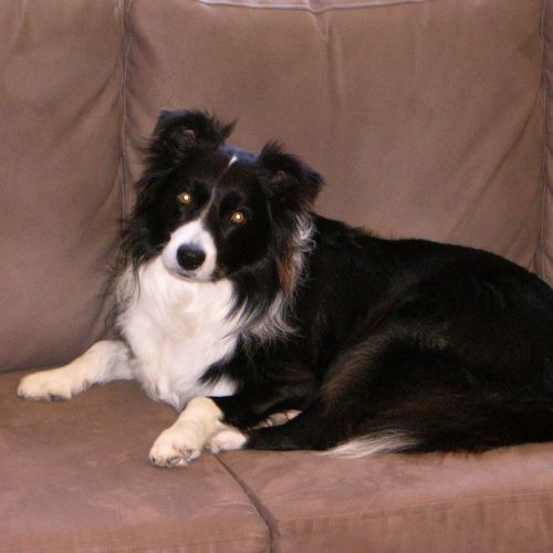 Lost Gryphon Http Ow Ly Fsal9 Male Black White Border Collie Sorrento Perth Wa Lostdogsorrento Lostdogperth Lostpetfinde Pet Finder Losing A Pet Pets